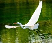 Launching White Heron