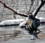 Winter Blue Heron