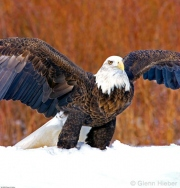 Launching Bald Eagle