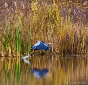 Launching Blue Heron