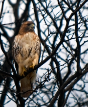 Madison_Red-tail