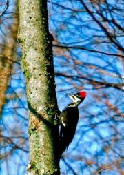 PileatedWoodpecker
