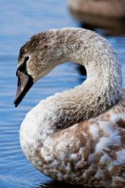 Young_Swan